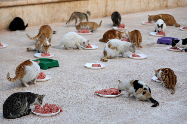 Cats feed on mincemeat at lunchtime on March 17, 2018, at Ernesto' s Cat Sanctuary run by Mohammed Alaa al- Jaleel in Kfar Naha, an opposition- held town in Aleppo province in Syria. The 43- year- old, al- Jaleel who grew up in Aleppo, has been mad about cats since he was a boy. As the war raged in Syria and cat lovers fled the city, he was left with 170 cats to feed and a new nickname: the Cat Man of Aleppo. (Photo by Omar Haj Kadour/AFP Photo)