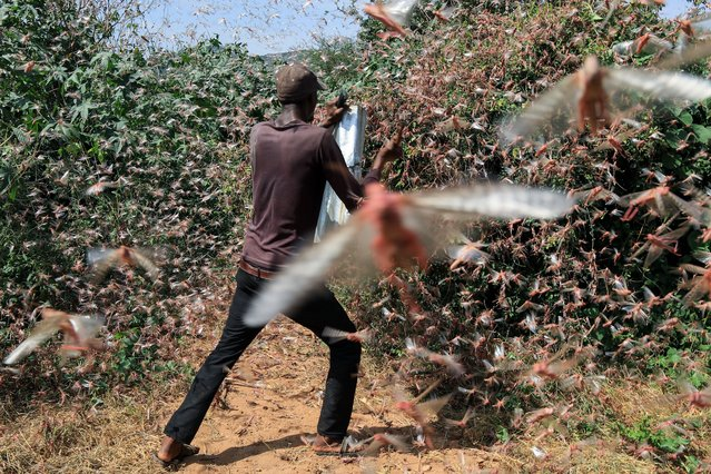 A man uses iron sheet to make noises, as a way of trying to disperse desert locusts that had invaded their farms during the second wave invasion in Kakongo village, in Nuu-Mwingi East, in Kitui, Kenya, 06 February 2021. The second wave invasion of the desert locusts in the country comes at a time where most famers are expecting to harvest their farm produce in the country. According to the United Nations Food and Agriculture Organization (FAO), on 04 February, warned numerous immature desert locust swarms persist in southern Ethiopia and Kenya. Some of the swarms are in community areas and therefore cannot be treated. In Kenya, immature swarms continue to spread westwards across northern and central counties where there are currently about 20 small swarms present, mostly about 50 hectares in size, it said. (Photo by Daniel Irungu/EPA/EFE)