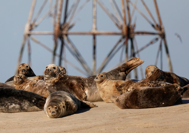Grey seals rest on a sandbank close to Walde lighthouse in Marck near Calais, France, February 13, 2021. (Photo by Pascal Rossignol/Reuters)