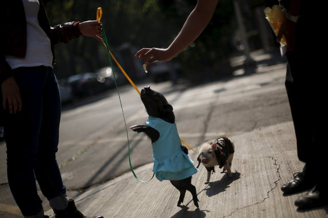 Hami, a three-month-old mini pig, eats french fries near to Chule, a six-month-old mini pig, in Mexico City, December 11, 2015. (Photo by Edgard Garrido/Reuters)