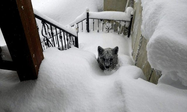 """A handout picture dated 08 February 2015 and made available on 09 February by Oscar Montero, an inhabitant of Prioro town in Leon province, central Spain, shows a Cantabrian brown bear cub covered in snow at Montero's home exterior stairs. The Cantabrian brown bear is catalogued on the Spanish Red List of Endangered Species as """"In Danger of Extinction"""". (Photo by Oscar Montero/EPA)"""