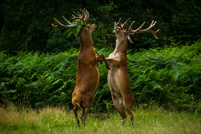 Two deer fighting. (Photo by Bartek Olszewski/Barcroft Images/Comedy Wildlife Photography Awards)