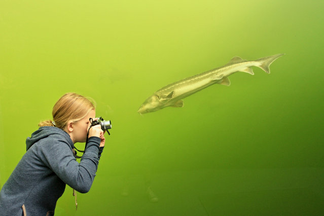 A girl takes a photo of a fish through the transpaent walls of a tunnel in a lake in Madra, 70 km southeast from Brno, South Moravia, Czech Republic on September 30, 2013. The tunnel, which is located at a depth of three meters, measuring eight meters in length from which one can observe sturgeon, carp, catfish, perch, tench, eell and trout. (Photo by Radek Mica/AFP Photo)