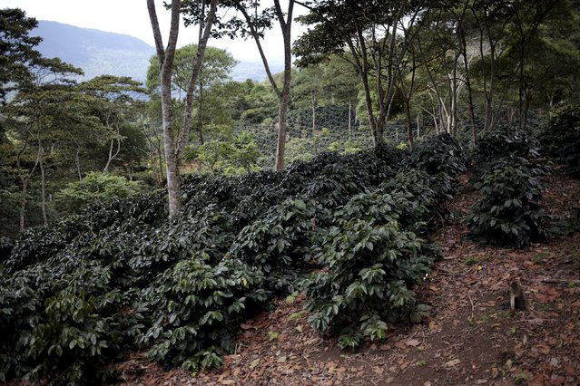 General view of a coffee plantation at the Nogales farm in Jinotega,Nicaragua January 7, 2016. (Photo by Oswaldo Rivas/Reuters)