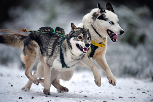 Sledders and their huskies practice at a forest course ahead of the Aviemore Sled Dog Rally on January 19, 2016 in Feshiebridge, Scotland. Huskies and sledders prepare ahead of the Siberian Husky Club of Great Britain 33nd race taking place at Loch Morlich this weekend near Aviemore. (Photo by Jeff J. Mitchell/Getty Images)