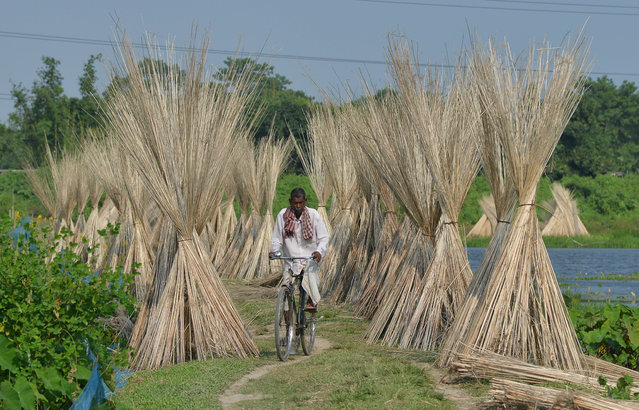 An Indian villagers ride his bicycle past jute sticks, a fibre that can be spun into coarse strong threads, at Dolapani village in Sonitpur district, some 185 kms from Guwahati, the capital city of India's north-eastern state of Assam on October 8, 2018. (Photo by Biju Boro/AFP Photo)