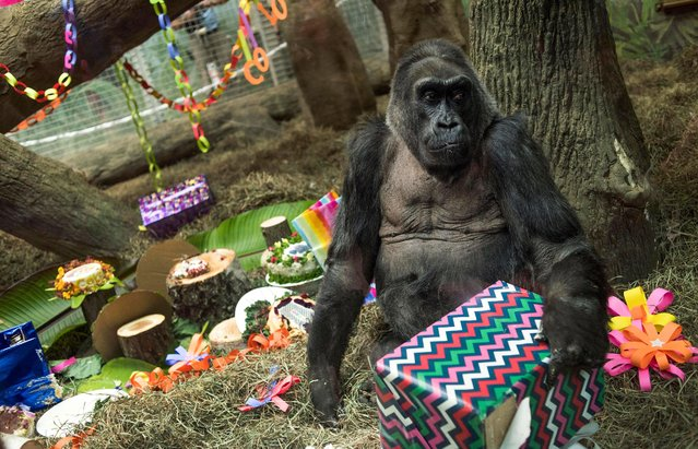 In this December 22, 2016, file photo, Colo, the world's first gorilla born in a zoo, opens a present in her enclosure during her 60th birthday party at the Columbus Zoo and Aquarium in Columbus, Ohio. The Columbus Zoo and Aquarium said Tuesday, January 17, 2017, that Colo, the oldest known gorilla in the U.S., died in her sleep less than a month after her 60th birthday. (Photo by Ty Wright/AP Photo)