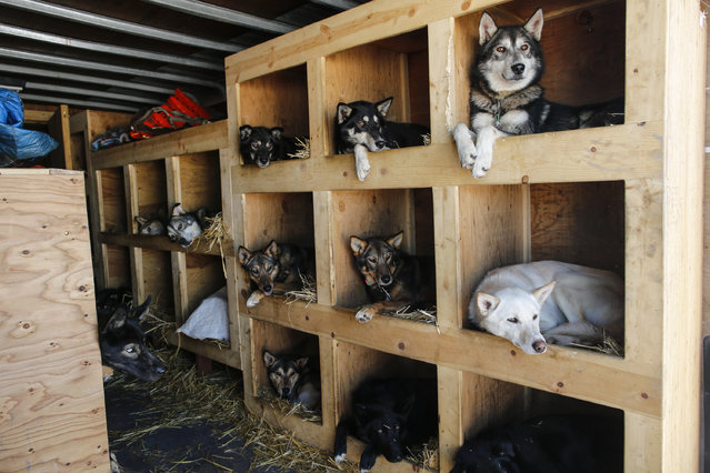 Travis Beals' team waits in the truck before the restart of the Iditarod Trail Sled Dog Race in Willow, Alaska March 6, 2016. (Photo by Nathaniel Wilder/Reuters)