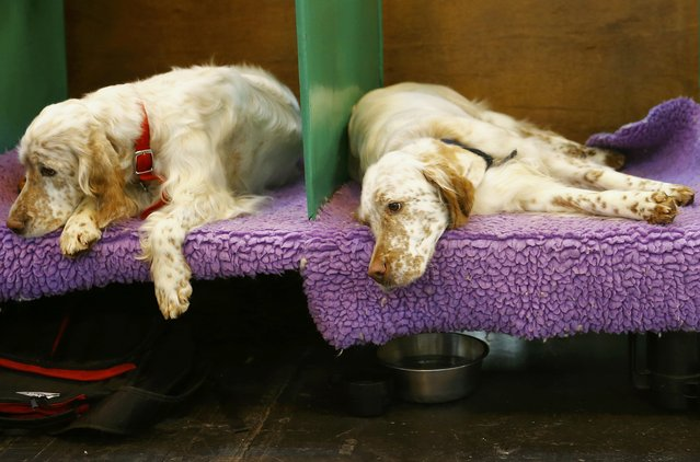 English Setters rest during the second day of the Crufts Dog Show in Birmingham, Britain March 11, 2016. (Photo by Darren Staples/Reuters)