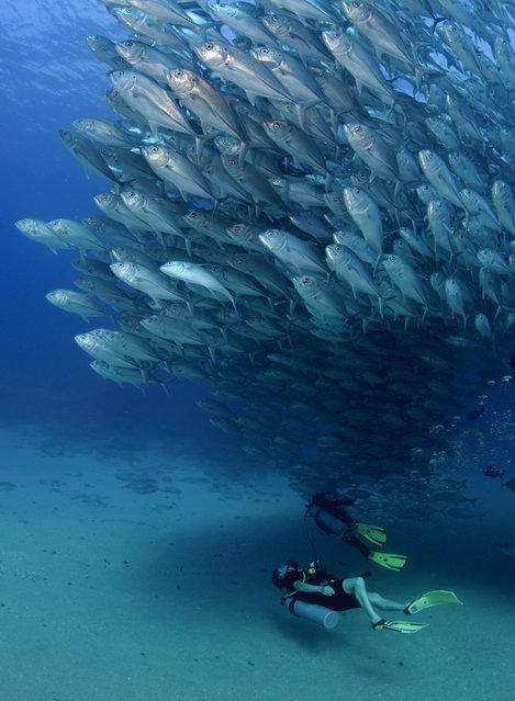 Divers swim beneath the spawning fish