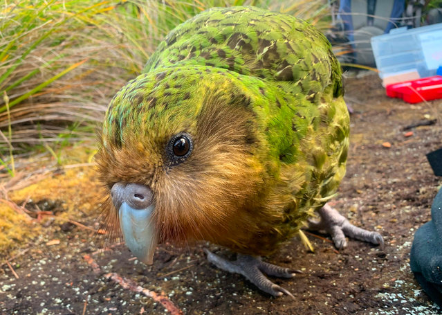 This handout photo taken on January 27, 2019 and released on April 18, 2019 by the New Zealand Department of Conservation shows a kakapo on Codfish Island, also known as Whenua Hou, off the south coast of New Zealand's South Island. The critically endangered kakapo has enjoyed a record breaking breeding season, New Zealand scientists said on April 18, with climate change possibly aiding the unique mating spree of the world's fattest parrot species. (Photo by Andrew Digby/New Zealand Department of Conservation/AFP Photo)