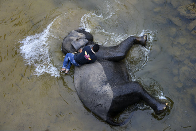 An Indonesian mahout bathes a Sumatran elephant in a river at Trumon animal corridor in Leuser ecosystem area, Southern Aceh province on April 15, 2019. (Photo by Chaideer Mahyuddin/AFP Photo)