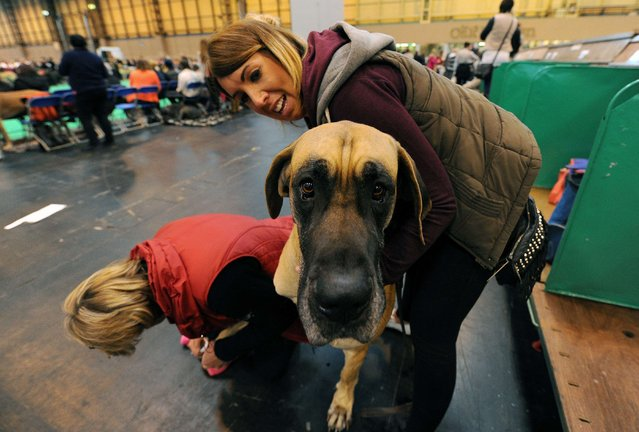 A Great Dane called Clyde has his nails filed during the first day of the Crufts dog show on March 6, 2014 in Birmingham central England. (Photo by Andrew Yates/AFP Photo)