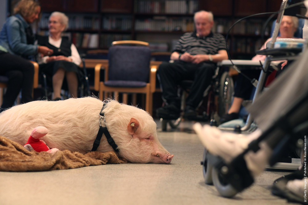 Physiotherapist Uses Pig To Offer Emotional Therapy