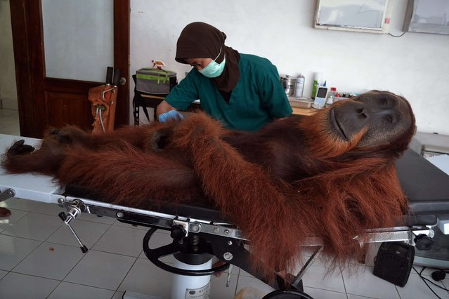 In this photograph taken on April 16, 2014, a veterinary staff member of the Sumatran Orangutan Conservation Programme center conducts medical examinations on a 14-year-old male orangutan found with air gun metal pellets embedded in his body in Sibolangit district in northern Sumatra island. (Photo by Sutanta Aditya/AFP Photo)