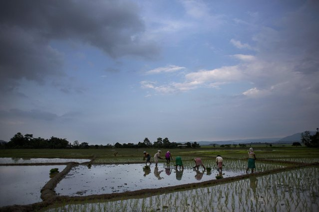 Women plant saplings at a paddy field in Reba Maheswar village, 56 kilometers (35 miles) east of Gauhati, India, Friday, July 3, 2015. (Photo by Anupam Nath/AP Photo)