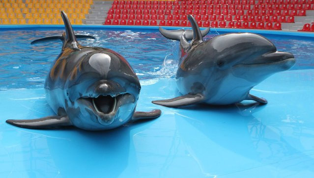 Dolphins lay at a pool nosing during a show rehearsal at a dolphinarium in the Crimean resort town of Alushta, on April 24, 2014. (Photo by Yuriy Lashov/AFP Photo)