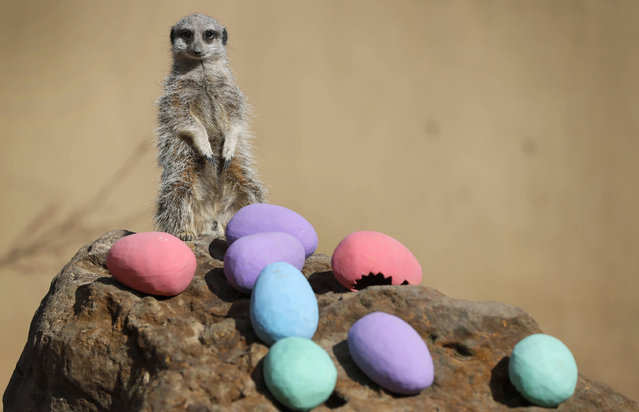 """Robbie the Meerkat enjoys an Easter treat of eggs filled with vegetables, at London Zoo, Thursday, April 13, 2017. Zookeeper Veronica Heldt, said: """"While there will be no chocolate for our inquisitive meerkats, we've prepared an Easter egg hunt for the clan"""". This will encourage them to seek out treats hidden in the foliage and forage for food, mimicking how they would seek their food in the wild. (Photo by Kirsty Wigglesworth/AP Photo)"""