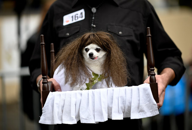 "A dog in a costume as Regan from the movie ""The Exorcist"" attends the Tompkins Square Halloween Dog Parade in Manhattan in New York City on October 20, 2019. (Photo by Johannes Eisele/AFP Photo)"