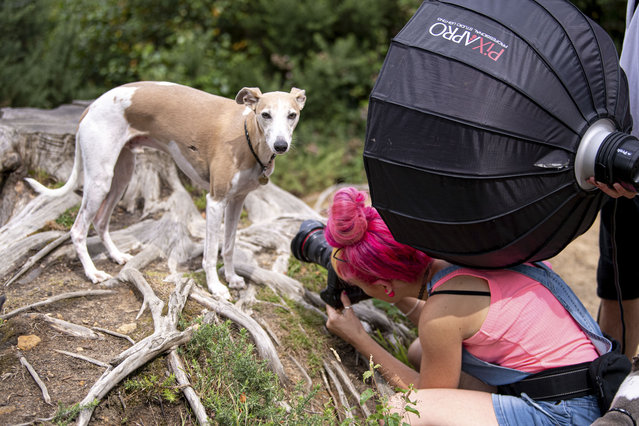 "These photos were snapped at just the right moment – leading to some truly unusual images. Some of the pups are sticking out their tongue, while others are just looking at the camera – and the results are hilarious. Cat Race, 33, a dog photographer from Preston, Lancashire, in the U.K., captured the funny moments in the northwest of England over the past two years. Race owns a photography business called CatsDog, along with her partner, Michael, and was a runner-up in the British Photography Awards. She said: ""Many of these images are actually outtakes – that is, between shots which made the final cut and happened to capture dogs making the most ridiculous faces you have ever seen"". Here: Cat at work. (Photo by CatsDog Photography/Caters News Agency)"