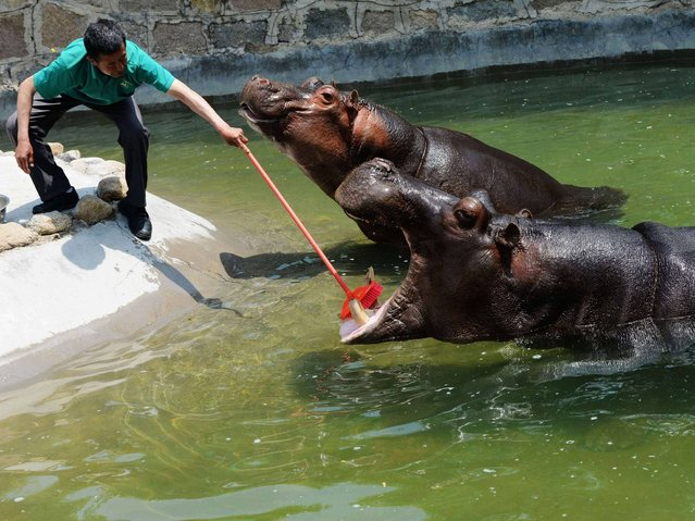 A worker cleans a hippo's teeth at Qingdao Forest Wildlife Park on May 22, 2014 in Qingdao, Shandong Province of China. Workers at the park clean hippos' teeth twice a week in summer. (Photo by ChinaFotoPress/ChinaFotoPress via Getty Images)