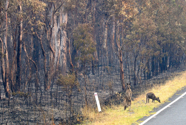 Wildlife that survived a bushfire graze for food at Wollemi National Park, New South Wales (NSW), Australia, 17 November 2019. According to media reports, rising temperatures and hot winds are again expected to fan wildfires in the state next week. (Photo by Jeremy Piper/EPA/EFE)