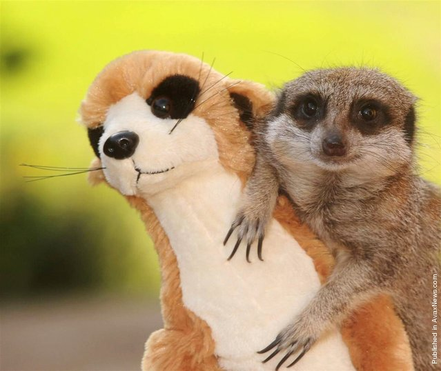 This meerkat decided to befriend the plushy toy version of himself that was accidently dropped into his enclosure by an excited child. From the goofy grin on his face, looks like this meerkat has a new pal