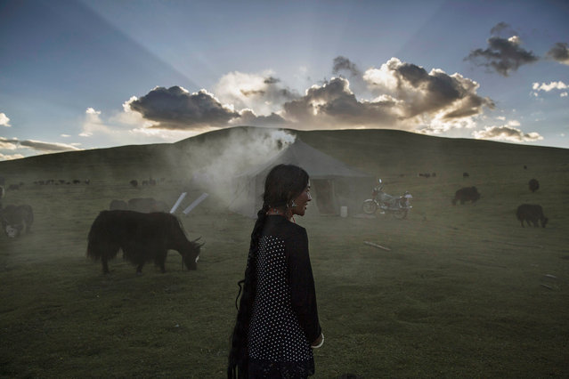 An ethnic Tibetan nomad woman stands with her Yak herd at their summer grazing area on July 24, 2015 on the Tibetan Plateau in Yushu County, Qinghai, China. (Photo by Kevin Frayer/Getty Images)