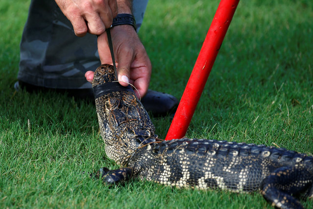 An alligator has its mouth taped closed after being caught in a lagoon in a golf course by a trapper to relocate it to a more natural environment in Orlando, Florida, U.S., June 19, 2016. (Photo by Carlo Allegri/Reuters)