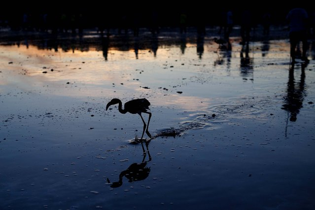 A flamingo chick avoids a tagging control in Fuente de Piedra, on Jule 19, 2014. (Photo by Pablo Blazquez Dominguez/Getty Images)
