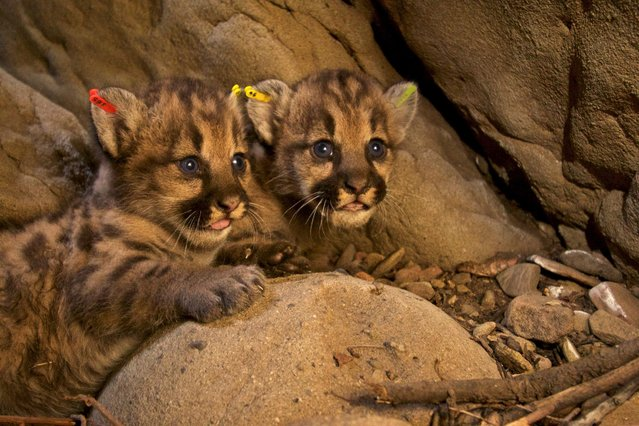 Two newly discovered mountain lion kittens, one of two separate litters found in the eastern Santa Susana Mountains near Los Angeles, California, U.S., are shown in their den in this handout photo released to Reuters July 6, 2016. (Photo by Reuters/National Park Service)