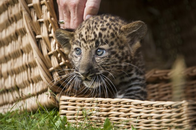 An eight week old leopard cub looks out from its basket as it is unveiled to media and public at the Tierpark zoo in Berlin on August 22, 2014. The Java-leopard was born in the zoo on June 17th to mother Shinta. The cub has yet to be named. (Photo by Odd Andersen/AFP Photo)