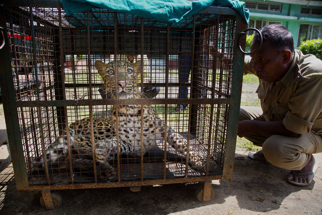 An Indian forest guard looks at a leopard they tranquilized and captured from a residence after it was brought in a cage to the state zoological park in Gauhati, Assam state, India, Wednesday, September 13, 2017. The full grown male leopard entered a residence early Wednesday morning. Conservationists say deforestation is increasingly pushing leopards into populated areas. (Photo by Anupam Nath/AP Photo)