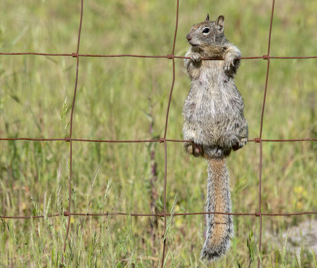 A ground squirrel seems to enjoy a warm afternoon from her perch on a farmer's fence along a country road near Elkton in rural western Oregon, US on May 6, 2020. (Photo by Robin Loznak/ZUMA Wire/Rex Features/Shutterstock)