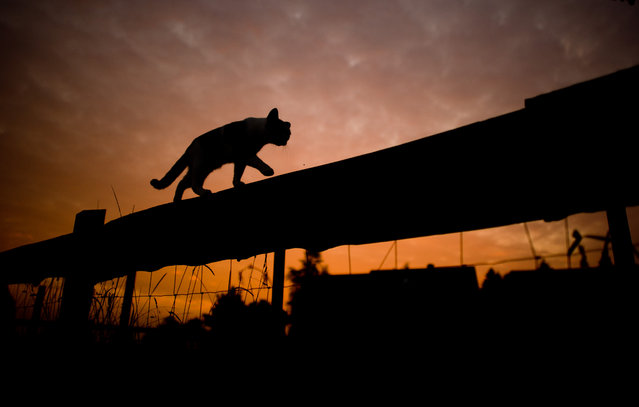 The silhouette of a cat walking on top of a fence stands out against the sky during sunrise near Sehnde, Germany, 16 September 2014. Indian summer, or Altweibersommer (old womens summer) in German, is a weather phenomenon which often brings sunny weather between mid-September and the start of October in parts of central Europe. (Photo by Julian Stratenschulte/EPA)