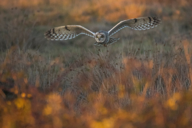 """Matthew Roseveare, 12-18 years category winner, The Golden Hour Hunt, Farlington, Hampshire. """"As the light began to fade a short-eared owl emerged to hunt for prey above the marshes. Standing on the sea wall I was amazed when it began to fly towards me – it is a moment I will never forget!"""". (Photo by Matthew Roseveare/British Wildlife Photography Awards 2017)"""