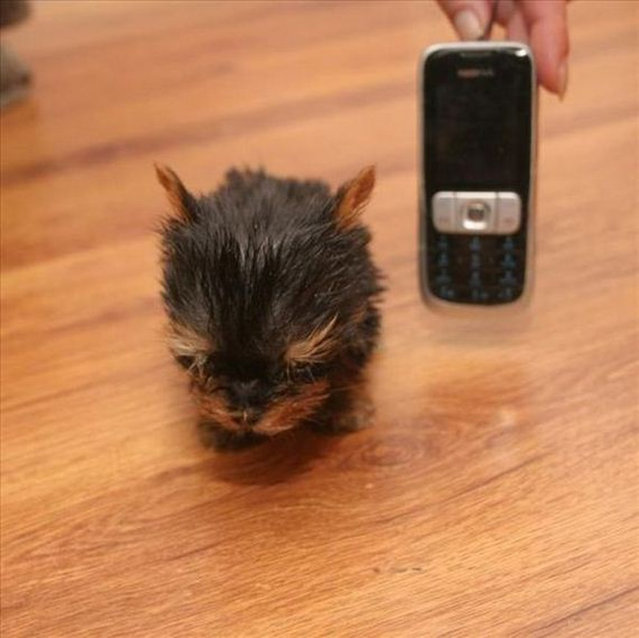 Terrier Meysi is the World's Smallest Dog