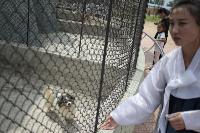 "A dog is kept at a pen at the newly opened Central Zoo in Pyongyang, North Korea, Tuesday, August 23, 2016. One of the most popular attractions at the zoo might come as a surprise to foreign visitors. Just across the way from the hippopotamus pen and the reptile house, dozens of varieties of dogs, including schnauzers, German shepherds, Shih Tzus and Saint Bernards – are on display in the ""dog pavilion"". (Photo by Dita Alangkara/AP Photo)"