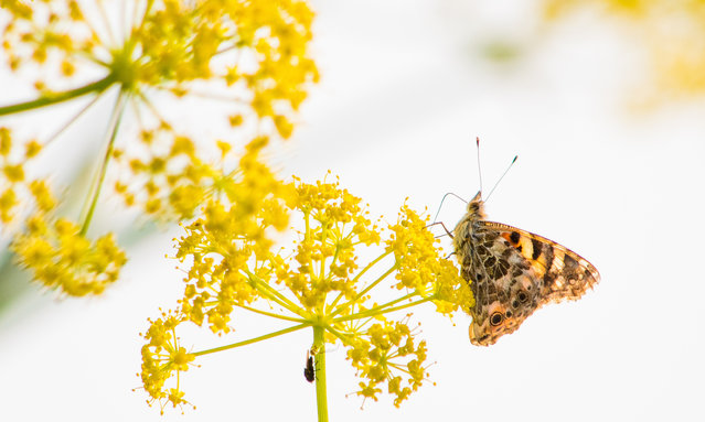 A migrating painted lady rests on a flower in Cyprus. Cyprus is a pit stop for millions of insects that fly at high altitudes over the sea then come to land to rest as they migrate up to thousands of kilometres from the Middle East to western Europe. (Photo by Will Hawkes Photography)