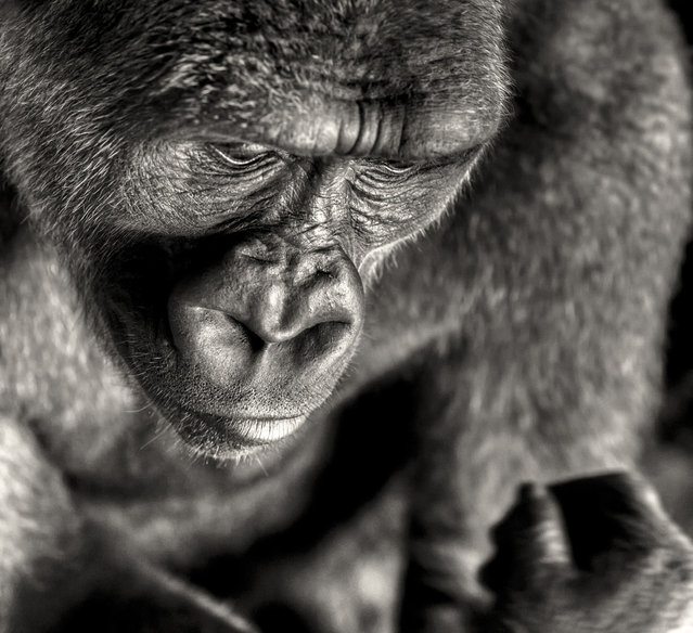 """""""Part of a series about gorillas. These apes losing their natural habitat due to the greed and diseases of humankind"""". (Photo and comment by Regis Boileau, France/2013 Sony World Photography Awards"""