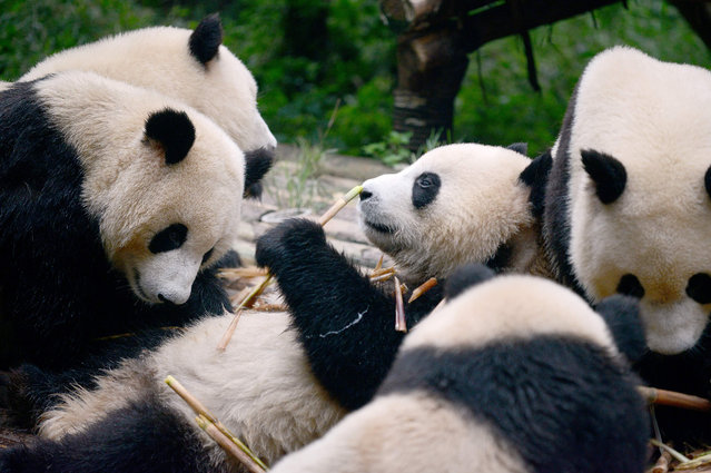 This picture taken on September 9, 2016 shows a group of pandas eating bamboo at the Chengdu Research Base of Giant Panda Breeding in China's Sichuan province. The giant panda may have been taken off the endangered species list, but the emblematic black and white bear still faces a plethora of risks including epidemics and climate change, Chinese breeding centres say. (Photo by Wang Zhao/AFP Photo)
