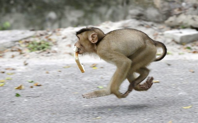 A monkey runs away with a piece of bread in it's mouth at a park in a suburb of Kuala Lumpur, Malaysia, Monday, March 4, 2013. (Photo by Mark Baker/AP Photo)