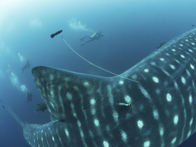 "Because of the difficulty of conducting a medical exam on a free-swimming whale shark, researchers only obtained two blood samples, which haven't yet been tested. The ultrasound exams were inconclusive and Green said more powerful machines are needed. Most ultrasound machines for animals are intended for abdominal walls that are 1 to 2 inches thick – but a whale shark's abdominal wall is about 8 inches. ""When we first started studying these large animals, nobody knew how to go about it"", Green said. ""Now that we have better technology and more experience, we will hopefully be able to answer some of the fundamental questions soon"". Besides blood and ultrasound tests, scientists successfully tagged seven sharks. While not a large number, it's important since so few whale sharks are tracked. The pressure of deep water can cause tags to drop off if the sharks dive below 2,000 meters (6,561 feet), which the animals often do if they're traveling long distances or possibly giving birth. But any migratory data the scientists collect when sharks stay at shallower depths can help build a picture of the sharks' life cycle. Green and colleagues are planning further expeditions to the Galapagos later this year to continue their research, including more blood samples and satellite tagging. In the last 75 years, the vast majority of whale sharks have been hunted by people for food and their numbers are still dropping, said Simon Pierce , chief scientist at the Marine Megafauna Foundation. Some biologists worry climate change could hurt the sharks by reducing their food supply: rising ocean temperatures could mean less plankton. ""If we do the things that are necessary to conserve the whale sharks, we'll be conserving the ocean itself"", said Simon Thorrold of the Woods Hole Oceanographic Institute in Massachusetts. For Green, who heads the Galapagos project, it's more personal. ""Even after years of diving with whale sharks, I still get goose bumps every time I see that huge blue shadow in the water. It's an incredibly emotional experience"". Here: This 2017 photo provided by Simon Pierce shows a double-tagged whale shark, with a position tag on  a tether and a satellite tag attached to a whale shark in the Galapagos Islands area of Ecuador. (Photo by Simonjpierce.com via AP Photo)"