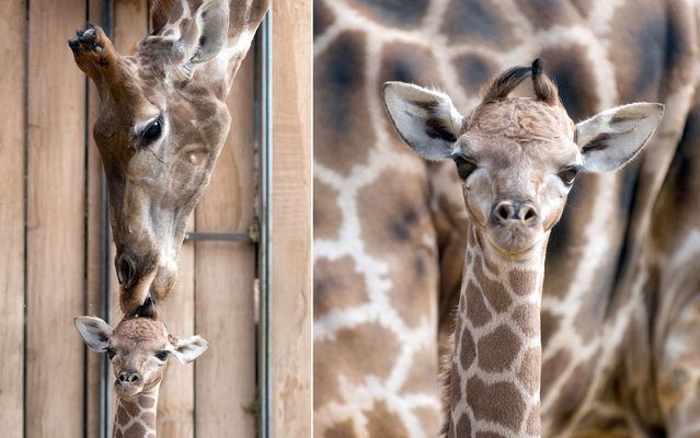 Mother giraffe Gambela licks her baby inside their enclosure at the Zoo in Dortmund, Germany, on March 26, 2013. (Photo by Bernd Thissen/AFP Photo)