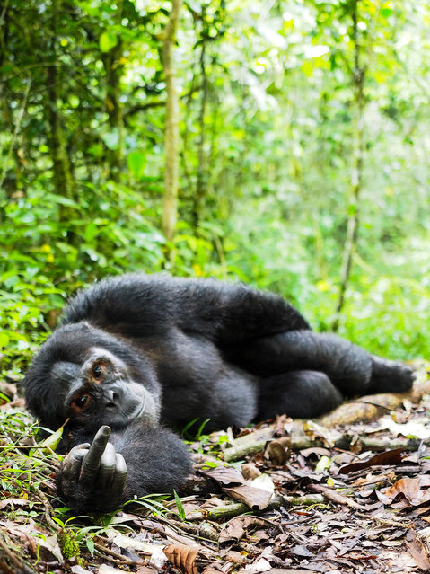 """""""Wilderness speaks!""""  A gorilla appears to gesture at the photographer. (Photo by Gil Gofer/The Comedy Wildlife Awards/Mercury Press)"""
