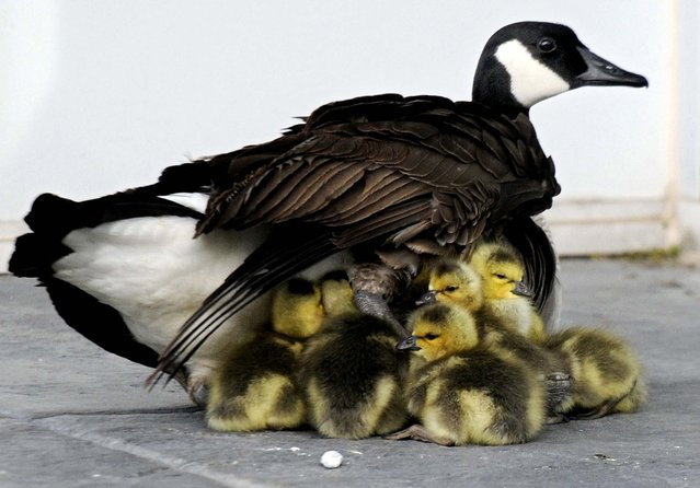 Goslings snuggle under the wing of a female Canada Goose in Vacaville, Californa, on April 13, 2013. (Photo by Joel Rosenbaum/The Reporter)