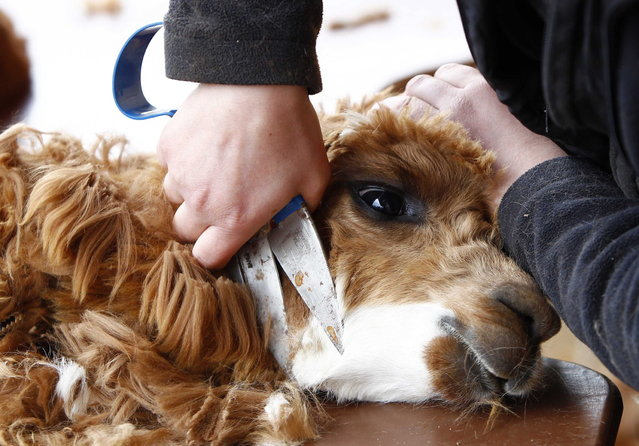 Farmer Sonja Turban shears an alpaca in the village of Winklarn near Regensburg April 22, 2013. The alpacas are always shorn in spring, to make the animals more comfortable for the summer months and to collect the expensive and well known alpaca wool. (Photo by Michaela Rehle/Reuters)
