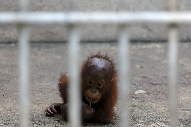 An orangutan looks on in a cage at Kao Pratubchang Conservation Centre in Ratchaburi, Thailand, November 11, 2015. (Photo by Athit Perawongmetha/Reuters)