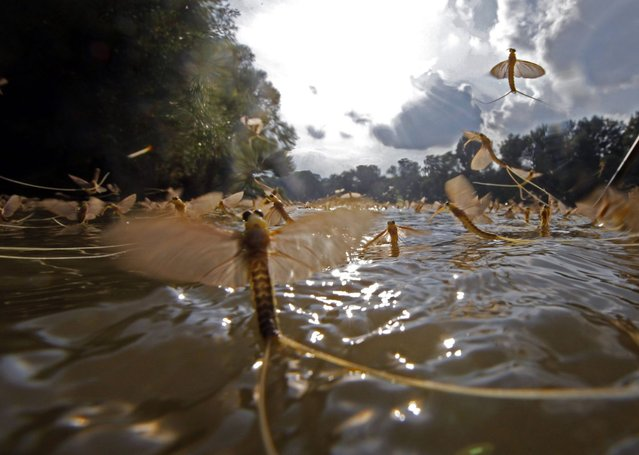 Long-tailed mayflies fly over the surface of the Tisza river southeast of Budapest. (Photo by Laszlo Balogh/Reuters)