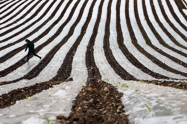 A man walks through a field of maize, planted under a film of biodegradable plastic which raises the soil temperature at the start of the season, near the city of Londonderry May 19, 2014. (Photo by Cathal McNaughton/Reuters)